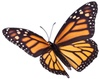 Monarch-Butterfly-100-80