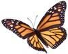 Monarch-Butterfly-100-80