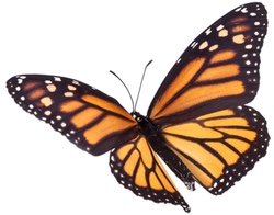 Monarch-Butterfly-250-200